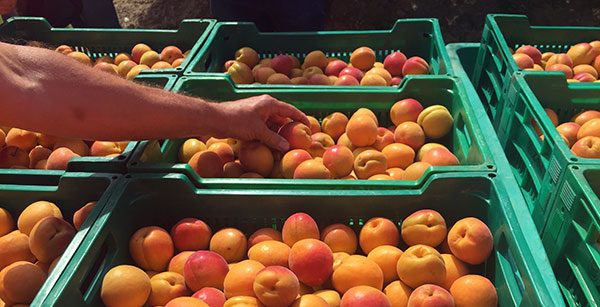 Time For Apricots